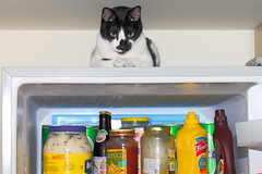 Cat on guard of refregerator