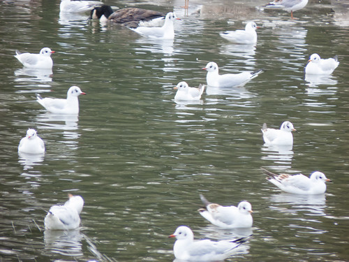 Gulls on a boating lake
