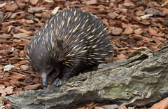 echidna, animal, porcupine, monotreme, fauna, close-up, wildlife,