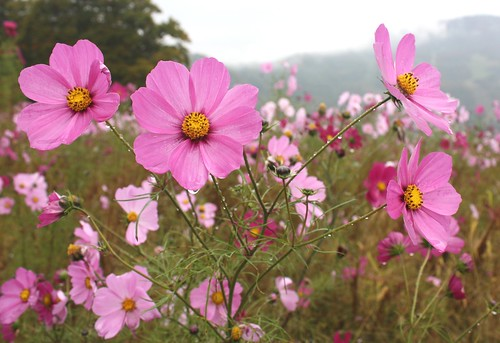 Cosmos flowers, Yuzawa, Japan
