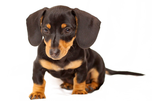 Miniature Dachshund | Flickr - Photo Sharing!