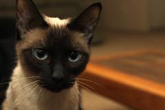 black cat(0.0), oriental shorthair(0.0), birman(0.0), nose(1.0), animal(1.0), siamese(1.0), small to medium-sized cats(1.0), pet(1.0), snout(1.0), fauna(1.0), thai(1.0), tonkinese(1.0), close-up(1.0), cat(1.0), burmese(1.0), carnivoran(1.0), whiskers(1.0), balinese(1.0), domestic short-haired cat(1.0),