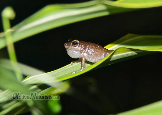 coqui frog 0000 Kalani resort, Hawaii, USA