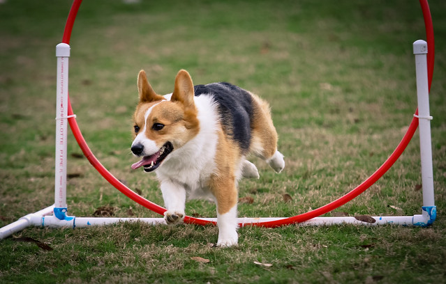 Basil - Pembroke Welsh Corgi - NADAC Trial Agility | Flickr - Photo ...