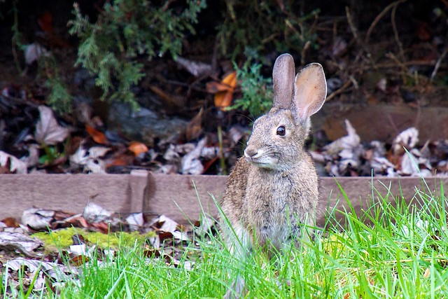 how to get rid of rabbits in backyard