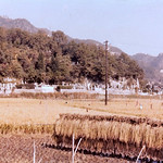 RICE STALKS DRYING, Kanagawa Prefecture 丹沢 1961