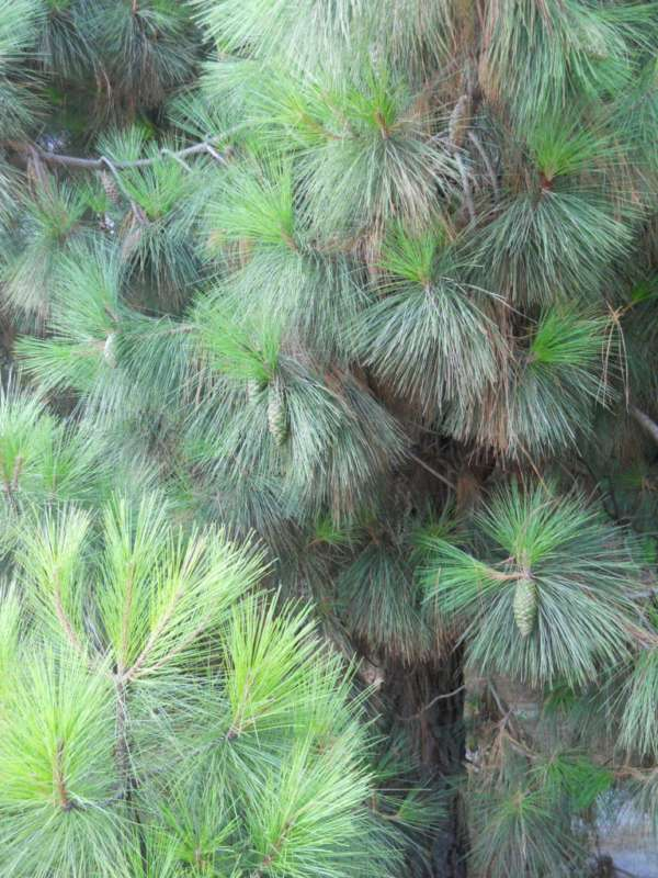 Pinus canariensis v 2