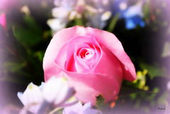 Pink Rose from Mother's Service