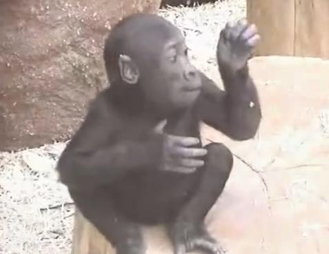 baby gorilla Kib beating his chest | gorillaphile | Flickr