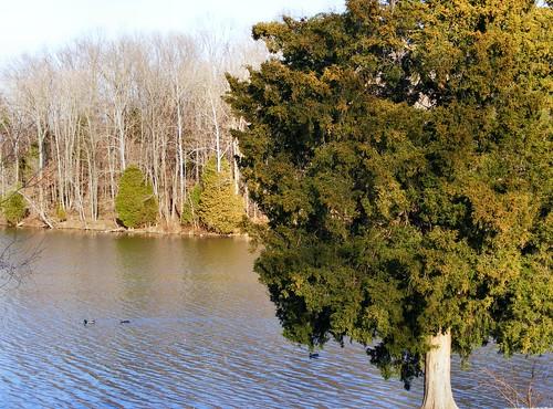 park trees usa lake tree bird water birds animal swimming swim duck view metro kentucky ky south parks ducks scene cedar louisville metroparks cooperchapel cooperchapelroad cooperchapelrd mckneely