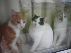 animal, small to medium-sized cats, pet, mammal, burmilla, cat, whiskers, manx, domestic short-haired cat,