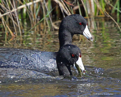 Coot surfacing