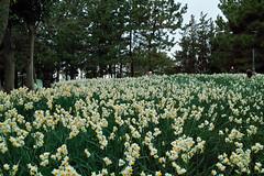 Narcissus (Kasai Rinkai Park, Tokyo)