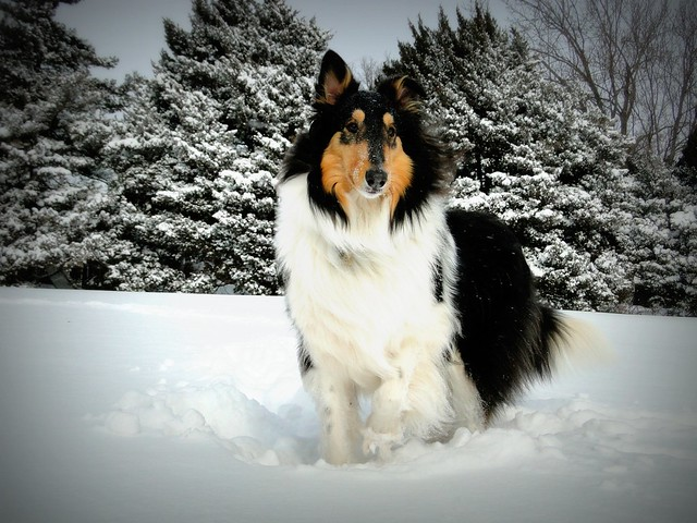 Rough Collie A Real Beauty A Gallery On Flickr
