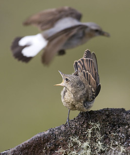 Wheatear (juvenile and adult)
