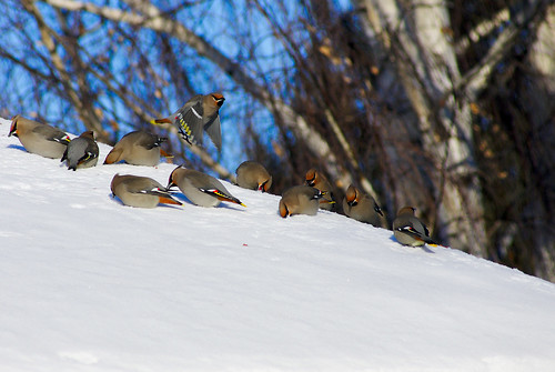 Many waxwings