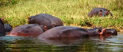 Hippos!