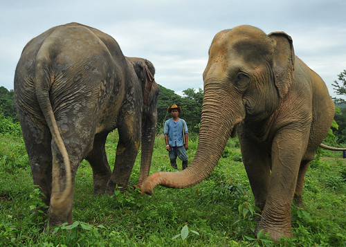 Mahout and his Grazing Eles