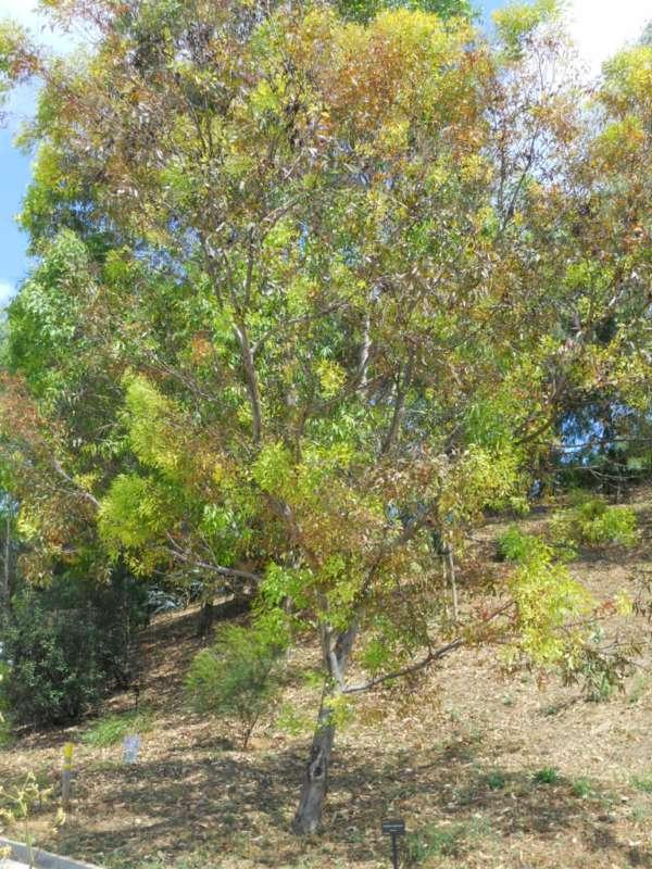 Eucalyptus megacornuta v 2
