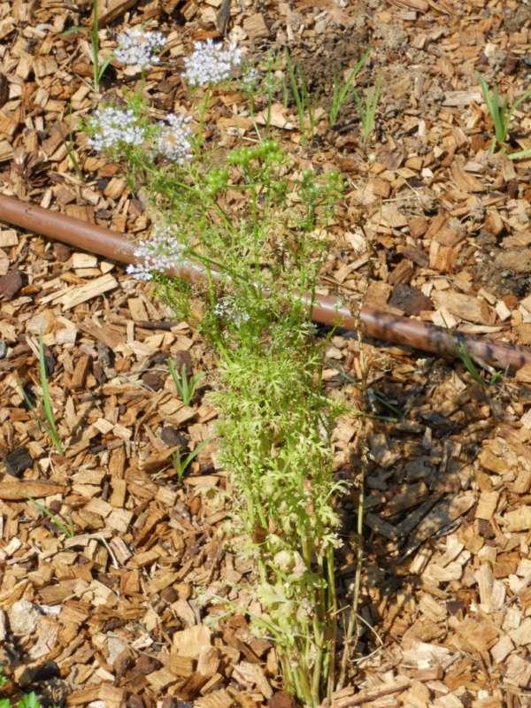 Coriandrum sativum v 2