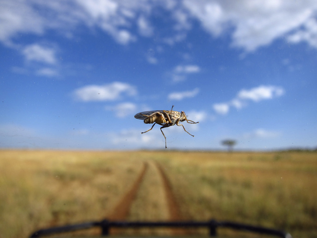 Tsetse fly on the windshield