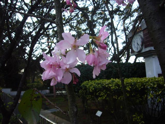 20110227陽明山三芝淡水賞花時光
