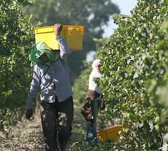 La vendimia argentina aumenta un 20% por hectárea respecto a 2012