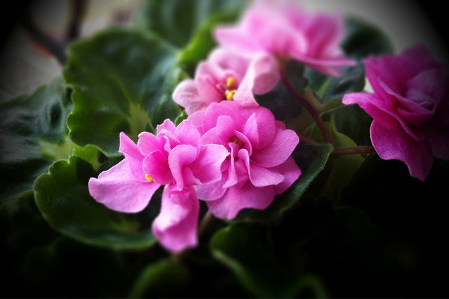 Pink Girl African Violet | Flickr - Photo Sharing!