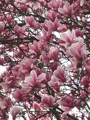 flower, branch, magnolia, spring, pink, petal,