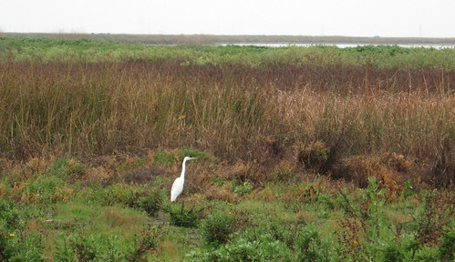 Great Egret near Alviso Slough