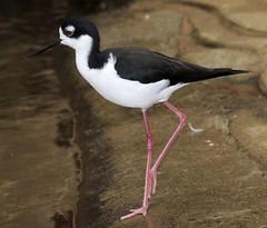 animal(1.0), fauna(1.0), stilt(1.0), shorebird(1.0), beak(1.0), bird(1.0), wildlife(1.0),