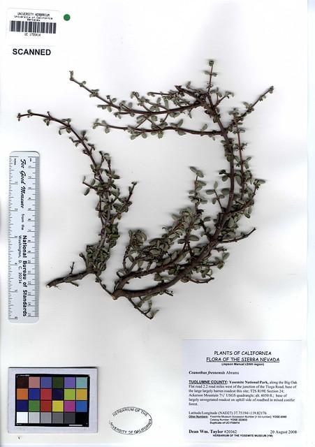 Header of Ceanothus fresnensis
