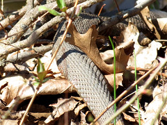 hidden water snake