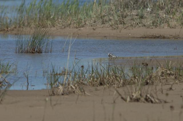 Piping plover habitat