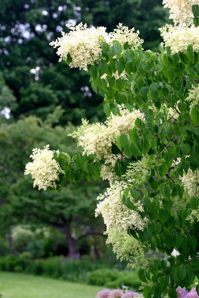 Peking Lilac China Snow Powell Gardens Flickr