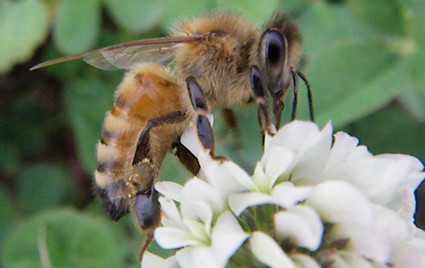 Honey bee on clover at Downsview park Toronto.