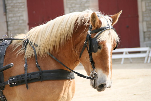 horses horse cheval driving carriage 500views 500 each equine chevaux drafthorse ceffylau trait champagneardenne eich heavyhorse attelage capall trekpaard chevaldetrait equinephotography over500views ardennais zugpferd capaill kezeg equinephotographer attelages montierender harasnational traitardennais harasnationaldemontier