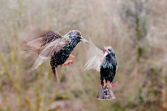 Photograph: Squabbling Starlings; Exmoor, Somerset, February 2011. By Simon Holliday.