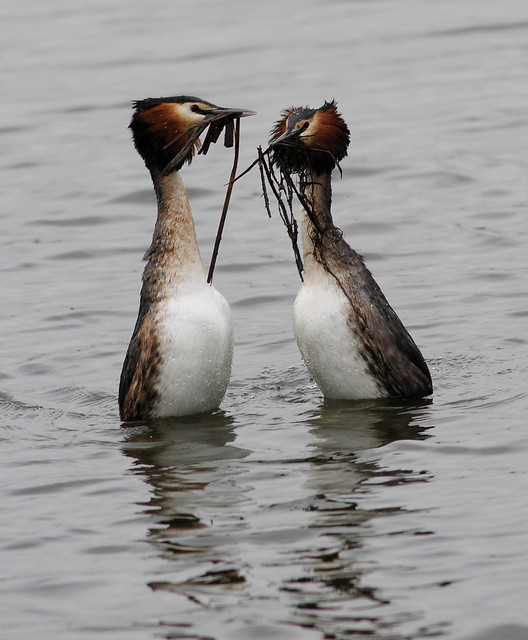 Great Crested Grebes ( Podiceps cristatus) weed dance 2