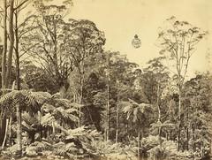 Fern trees, Mount Wilson, ca. 1888 / photographer unknown