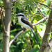 Grey-backed Fiscal Shrike (Tom McJannet)