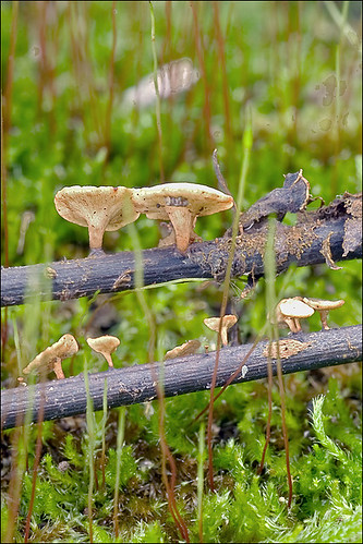 Photo by Amadej Trnkoczy  on Flickr Это Рутстроемия жёлто-оливковая (Rutstroemia luteovirescens) Автор фото: Amadej Trnkoczy (Slovenija)