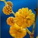 Alegría de primavera    (Mimosa) (acacia dealbata)