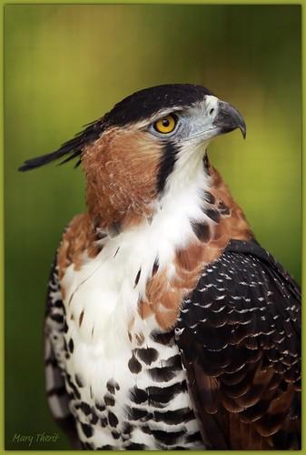 Ornate Hawk Eagle Portrait