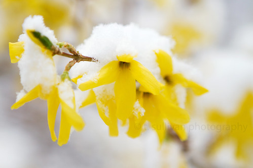Snow Covered Forsythia