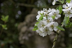Pear blossoms in front of a stone flower pot