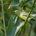 Fall Northern Parula