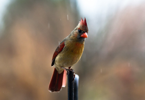 Cardinal in the Sleet
