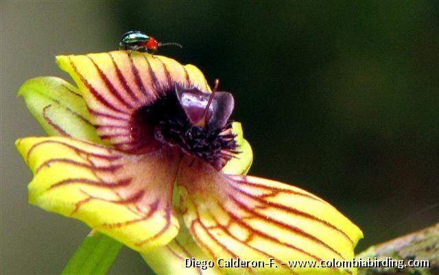Beetle walking on Telipogon cf. andinus/andicola [and similar to latifolius & hemimelas] orchid - Las Baldias, C Andes [thanks to Laura Agudelo, Duvan Garcia & Oscar A. Perez for ID info]