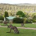 Grey Kangaroos (Janine Duffy)